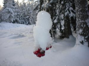 Ett foto av en rönnbärskvist som är nedtyngd av snö.