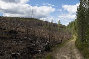 Invid vägen längds Brattsjön går det att skåda nedbrunnen ungskog på ena sidan och skog som klarade sig helskinnat från branden på den andra.