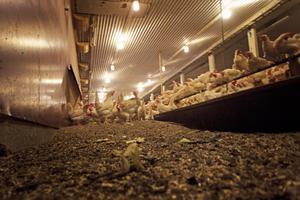 De 4800 hönsen är utspridda över två våningar. Något ovanligt men som säkrar produktionen.