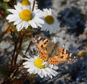 I helgen var Roine Karlsson ute på Söderarm och även där såg han tistelfjärilar. Foto: Roine Karlsson