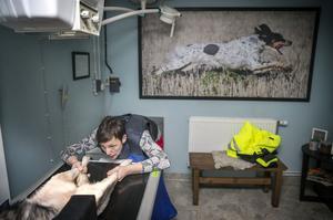 Jämthundstiken Leia ska höftröntgas och veterinären Anna Pamuk ser till att hon ligger i rätt läge.