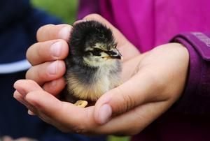 Dagarna fyllda av händer som klappar och smeker. Bara tre dagar gamla har kycklingarna på fäboden kommit i fokus för alla barnens uppmärksamhet.