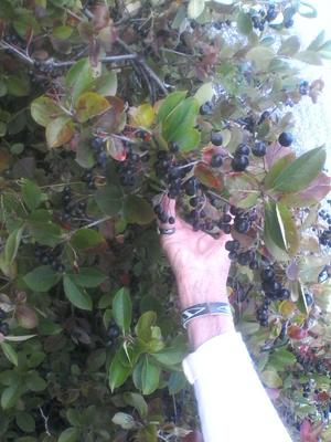 Stora saftiga, nyttiga aroniabär.