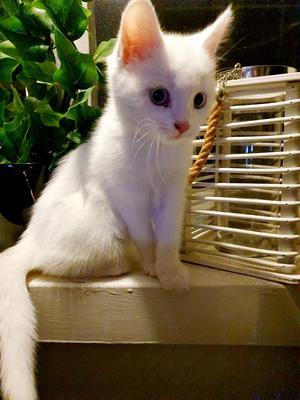 17) Det här är Isa! Hon är 15 veckor gammal. Hon har isblå ögon och är världens mysigaste, busigaste och även helt döv från födseln! Hennes bästa vänner är våran stora St:Bernard