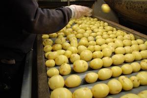 Årligen producerar Snöborg Gård omkring 4 000 ton potatis som sex dagar i veckan levereras till hela mellansverige.                                                                Foto: Snöborg Gård