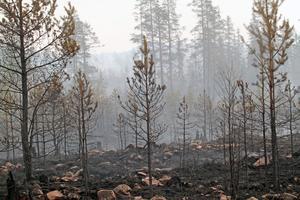 Runt 525 hektar skog har gått till spillo vid den stora branden.
