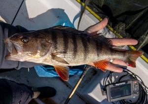 1005 gram vägde den här abborren som Pelle Larsson fick i Horrmundssjön den 2 juni. Foto: Privat