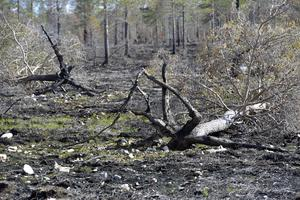 Träd som fallit och ännu ej hunnit  tas om hand i den pågående upprensningen efter branden.