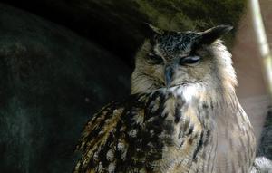 Kråk- och måsfåglar ingår i en berguvs meny.Foto: Hasse Holmberg/TT
