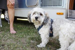 Hunden Max, en tre och ett halvt-årig bichon havanais.