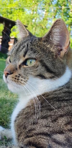 56) Livsnjutaren Tiger. Älskar solens värmande strålar och mat. Mammas prins❤  Foto: Jennifer Larsson Englin