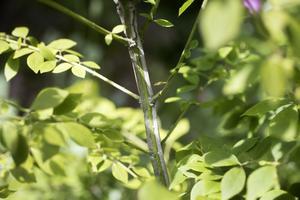 Den vingade benveden med sin dekorativa stam får efter sommaren ett bladverk i rött med dragning åt lila.