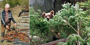 Vejne Hansson visar biodlingen som björnen slagit sönder. Björnen på bilden har inget med artikeln att göra.  Bild: Roger Wallenius/TT