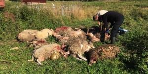 Tio får blev rivna av varg på Bråfors kulturreservat utanför Norberg mellan fredagen och lördagen.