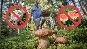 Röd flugsvamp, som innehåller det giftiga ämnet amatoxin, är en svamp som du absolut inte bör röra. Den är en av de svampar som orsakar flest förgiftningar med dödlig utgång i världen.