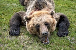 Björnen, en hona på cirka 70 kilo.