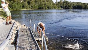 Stephan Rindberger får hjälp av Uwe Lehrer att håva in fångsten. En fin silverglänsande nystigen lax på cirka åtta kilo.
