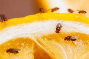 Bananflugan dras inte bara till bananer utan i princip all form av frukt.Bild: Anticimex