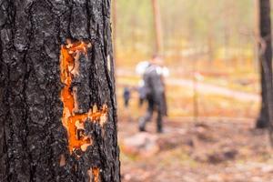Här har en hackspett varit framme och sökt efter insekter och larver som trivs i brandskadad skog.
