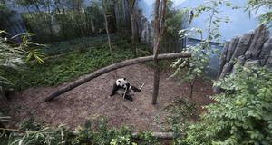 Parken man har byggt upp för pandorna ska likna deras naturliga miljö.