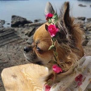 Sommarfika på Andersön. Chihuahua Macy och resten av familjen tycker det var en underbar utflykt. Foto: Carina Jonsson