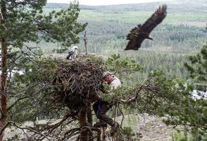 En unik bild tagen häromåret. Det är extremt ovanligt att en kungsörn går till angrepp mot ringmärkare. För ornitologen Ove Källström från Björksjön, Sollefteå, var det här faktiskt första gången någonsin, trots många år som ringmärkare.