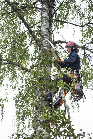 Björkens grenar sågas av nerifrån, upp mot toppen.