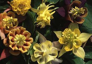 En akleja-nyhet är 'Oranges & Lemons' som blommar i citrusnyanser, mycket ovanlig färg för aklejor. Just citrusnyanser, gult och orange, tillhör de färger som länge varit lite ratade. Nu är de på väg tillbaka.