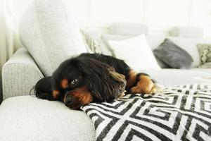 Hunden Zigge har lagt sig till rätta i sitt favorithörn av soffan.