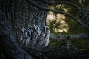 Hornugglor, förevigade av fotografen  Jonas Classon.