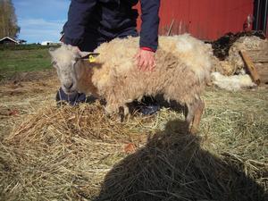 Omhändertogs. 60 får och en get omhändertogs hösten 2010 hos familjen i västra Avesta, som senare fick djurförbud. Detta djurförbud överklagades till Förvaltningsrätten i Falun, som nu delvis upphäver Länsstyrelsens djurförbud.