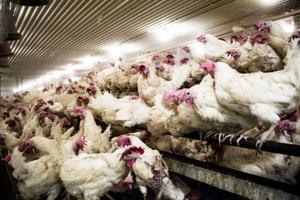 Sammanlagt bor omkring 26 000 fjäderfän på Kinsta.