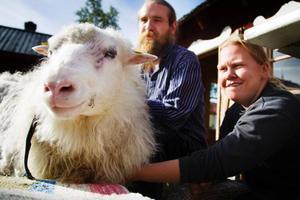 Anna-Karin Eriksson och Olle Möllervärn hjälptes åt att klippa Ulla, längs en mittbena på ryggen och därefter ner på ena sida av fåret.