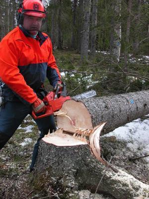 Tiiimber. När den 22 meter långa granen föll hördes det garanterat. Pentti Kalkback heter fällaren och trädet hamnade där det skulle. På backen.