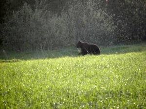 Här i Pålsboda intill reningsverket lufsade björnen i måndags.