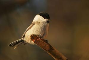 Entita: Även kallad kärrmes.  (Pa´rus palu´stris) Art i fågelfamiljen mesar. Den blir 12 centimeter lång, är gråbrun ovan och smutsvit under och har svart hjässa och haka. Den liknar talltita men har inget ljust längsband på vingen. Entita är vanlig i lövskog och blandskog, gärna på fuktiga marker, och häckar också ofta i holkar i frodiga trädgårdar. Den är stannfågel och besöker under vintern regelbundet fågelborden.