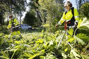 Emelie Särnholm och Lena Collin Damm från Karlskoga kommun använder röjsåg för att bekämpa ett område där jättelokan växt sig kraftig.