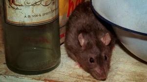 När det blir kallt ute söker sig råttor och möss inomhus.