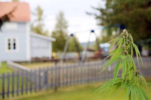 En cannabisodling mitt i byn och några meter från en förskola. Det har ofrivilige odlaren Peder Persson på sin tomt