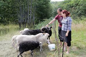 Vibyggerå Skafferi har egna lamm och frigående höns.