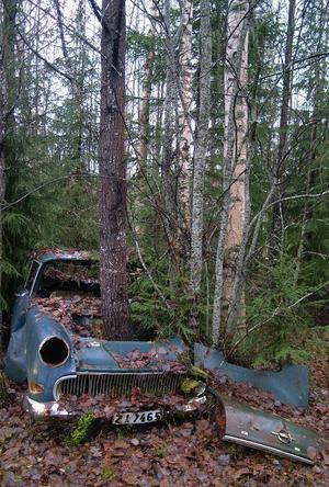 En häftig syn. Aspen har vuxit sig grov upp genom den gamla Opelns motorrum. Foto: Ingvar Ericsson
