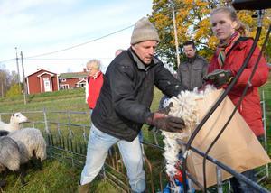 Ullen från varje får läggs i en särskild kasse. Rudy Hobbenschot lyfter i ullen som dottern Marcel sedan tar hand om.