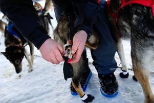 Flera av hundarna har små tasskydd på fötterna för att de inte ska skada sig när dom springer.