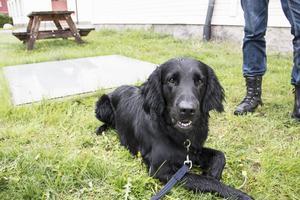 Brasse tar rast i gräset efter att ha slutfört sina uppgifter.