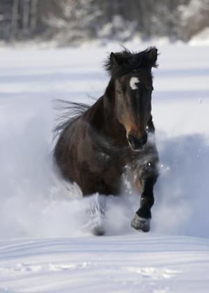 Vår häst Filura 22 år gammal öser fram i snön i full galopp.