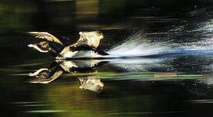 """Strömstaren är ett av de viktigare inslagen i den prisade naturfilmen """"Vattnets själ""""."""
