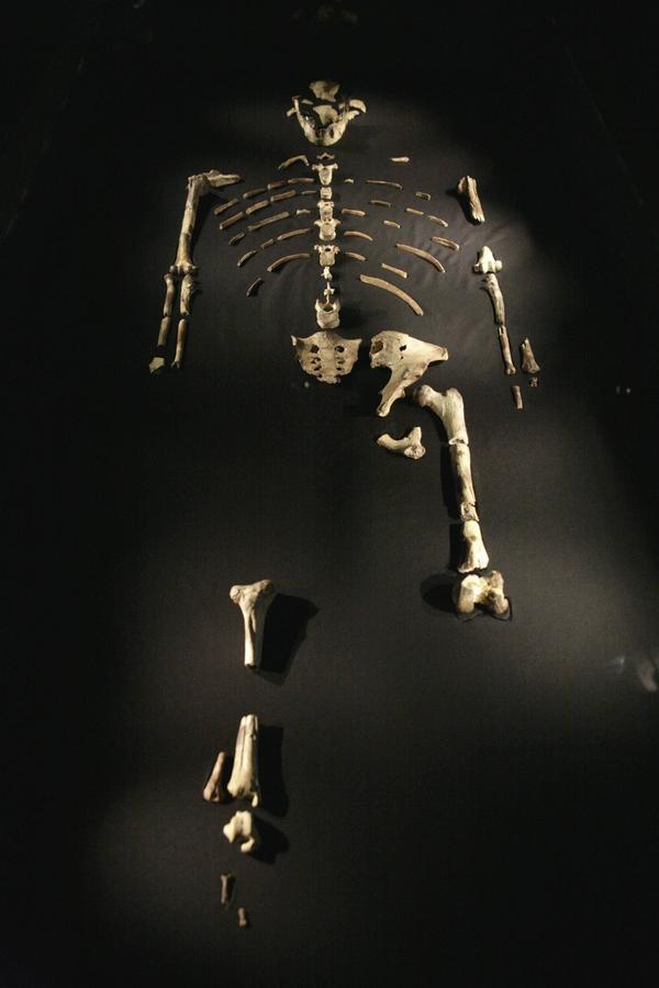 Cirka 40 procent av Lucys skelett har återfunnits, vilket är extremt mycket för en förmänniska med så hög ålder. Nu visar en analys av benen att hon troligen omkom vid en olyckshändelse. Foto: Michael Stravato/AP/TT