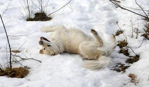 En favoritsyssla är att rulla sig i snö. Eller kobajs.