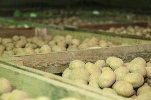 Av potatisskörden 2014 gick en hel del till spillo då Pärra Jönsson inte fick sälja något till kommunen.