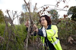 Trivs i trädgården. Theresa Ericsson har varit sjukskriven länge och har deltagit i projektet Gröna arenor sedan i maj. Hon hoppas få arbete efter tiden på Malma gård.foto: per g Norén